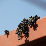 wine grapes on girder